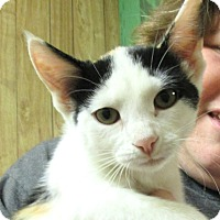 Calico Kitten for adoption in Reeds Spring, Missouri - Lily