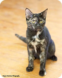 Domestic Shorthair Kitten for adoption in Knoxville, Tennessee - Black Canary