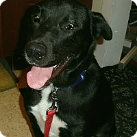 Labrador Retriever/Border Collie Mix Dog for adoption in Sparta, New Jersey - Dylan