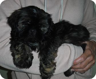 Shih Tzu Puppy for adoption in Flanders, New Jersey - Boss and friends