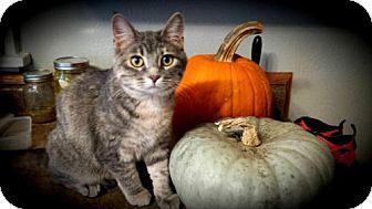 Domestic Shorthair Cat for adoption in Fargo, North Dakota - Izzie