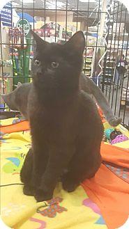 Bombay Kitten for adoption in Griffin, Georgia - Spud