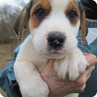 Adopt A Pet :: BISCUIT - Lincolndale, NY