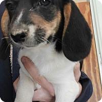 Adopt A Pet :: Reggie - Bryson City, NC