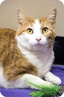 Domestic Shorthair Cat for adoption in Chicago, Illinois - Daffodil