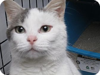 Domestic Shorthair Cat for adoption in Norwich, New York - Bella