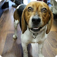 Beagle Dog for adoption in Centreville, Virginia - Frankie