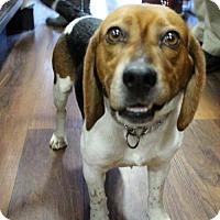 Adopt A Pet :: Frankie - Centreville, VA