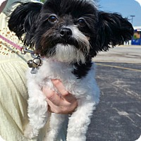 Adopt A Pet :: Lucy - Bridgeton, MO