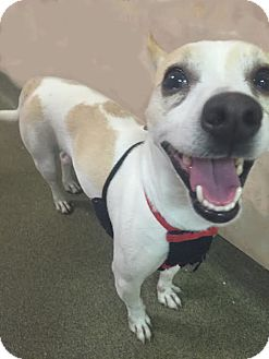 Jack Russell Terrier Mix Dog for adoption in Boca Raton, Florida - Kipper