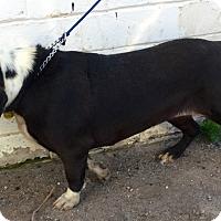 Adopt A Pet :: Slowpoke - Phoenix, AZ