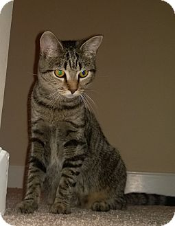 Domestic Shorthair Cat for adoption in Richmond, Virginia - Tami