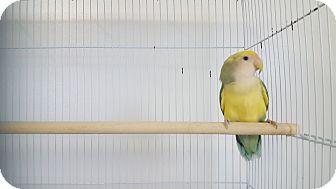 Lovebird for adoption in Grandview, Missouri - Ariel