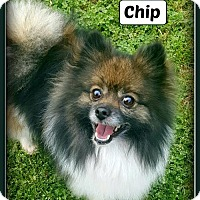 Adopt A Pet :: Chip - Doylestown, PA
