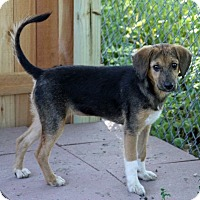 Shepherd (Unknown Type)/Hound (Unknown Type) Mix Puppy for adoption in Joliet, Illinois - Pepper