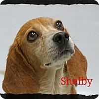 Adopt A Pet :: Shelby - Old Saybrook, CT