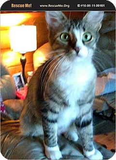 American Shorthair Cat for adoption in Horseshoe Bay, Texas - Eve