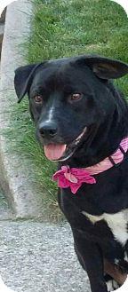 Labrador Retriever Dog for adoption in fort wayne, Indiana - Maci