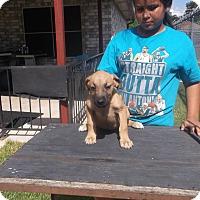 Adopt A Pet :: Holly - San Antonio, TX
