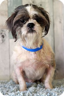 Shih Tzu Mix Dog for adoption in Waldorf, Maryland - Bentley II