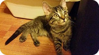 Domestic Shorthair Kitten for adoption in Hockessin, Delaware - Betsy