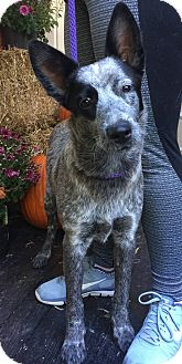 Australian Cattle Dog/Blue Heeler Mix Dog for adoption in White Cottage, Ohio - Emma