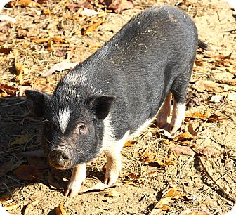 Pig (Potbellied) for adoption in West Grove, Pennsylvania - Miss Piggy