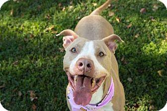 Labrador Retriever/Terrier (Unknown Type, Medium) Mix Dog for adoption in Kingwood, Texas - Tawny