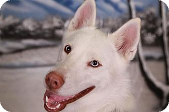 Siberian Husky Dog for adoption in Campbell, California - Bianca