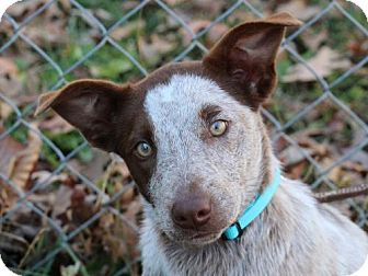 Australian Cattle Dog/Australian Shepherd Mix Dog for adoption in Cookeville, Tennessee - Ruby- ADOPTION PENDING