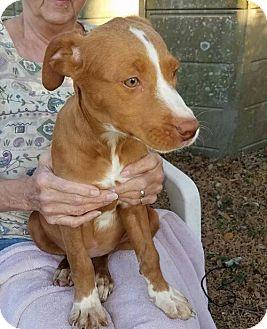 Labrador Retriever/Rhodesian Ridgeback Mix Dog for adoption in Sanford, Florida - Rosemary