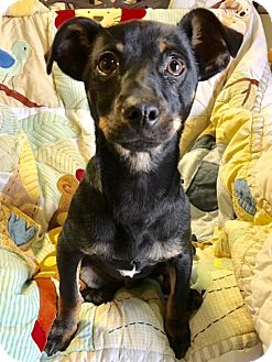 Dachshund/Chihuahua Mix Dog for adoption in Los Angeles, California - Bronsen