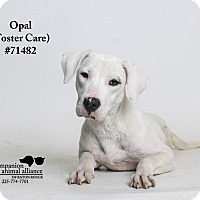 Adopt A Pet :: Opal  (Foster Care) - Baton Rouge, LA