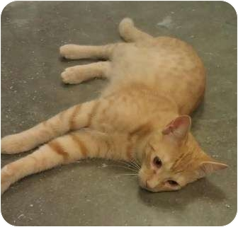 Domestic Shorthair Cat for adoption in Greenville, South Carolina - Muffin