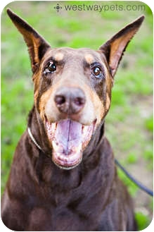 Doberman Pinscher Dog for adoption in Santee, California - Zorro