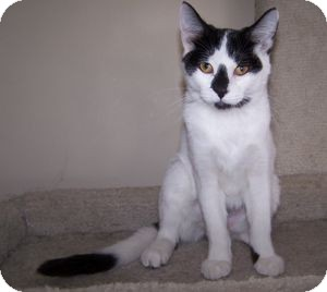 Domestic Shorthair Kitten for adoption in Colorado Springs, Colorado - K-Sitka3-Valentine