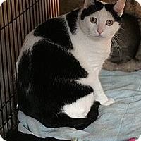 Adopt A Pet :: Helsing - Columbia, MD
