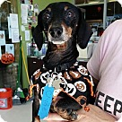 Adopt A Pet :: Clyde MINI 9 lbs