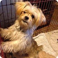 Adopt A Pet :: Nyla - Morgantown, WV