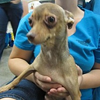 Chihuahua/Terrier (Unknown Type, Medium) Mix Dog for adoption in Fresno, California - Spaz