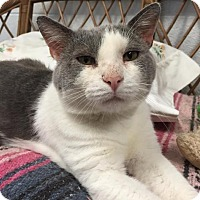 Domestic Shorthair Cat for adoption in Chambersburg, Pennsylvania - Teddy