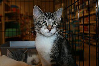 Domestic Shorthair Kitten for adoption in Rochester, Minnesota - Brian