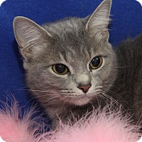 Adopt A Pet :: Heather Gray (Spayed) - Marietta, OH