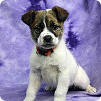 Adopt A Pet :: Fifi - Westminster, CO