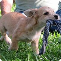 Adopt A Pet :: Scrappy - Puppy - Lafayette, LA