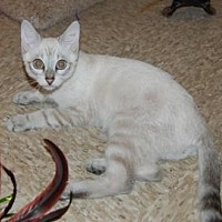 Siamese Kitten for adoption in Pompano Beach, Florida - Lokey