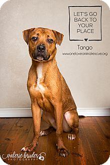 Rhodesian Ridgeback Mix Dog for adoption in Mount Laurel, New Jersey - Tango