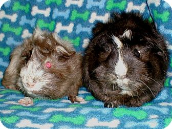 Guinea Pig for adoption in Steger, Illinois - Edgar