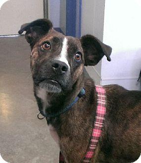 Boxer/Terrier (Unknown Type, Medium) Mix Dog for adoption in Aurora, Illinois - Kami