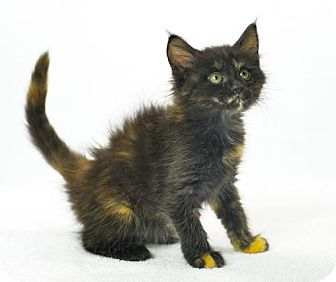 Domestic Mediumhair Kitten for adoption in Oxford, Mississippi - Sergei